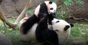 Mamma Panda gigante con cucciolo