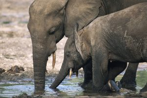 Mamma Elefante africano con cucciolo - Dzanga-Sanga Bai, Bayanga, Central African Republic