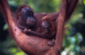 Mamma Orango col cucciolo, Malesia