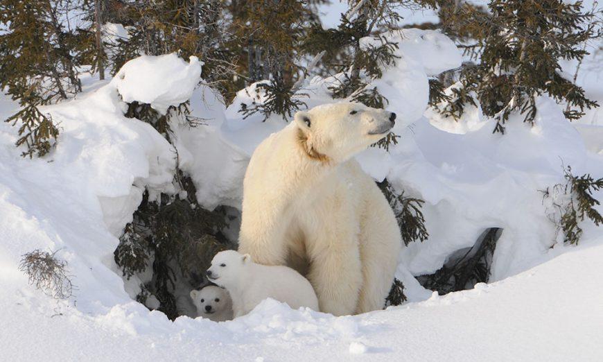 Mamma Orsa polare con cuccioli - Wapusk National Park, Manitoba, Canada