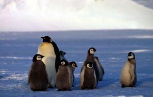 Pinguino Imperatore - Dawson-Lambton Glacier, Antartide