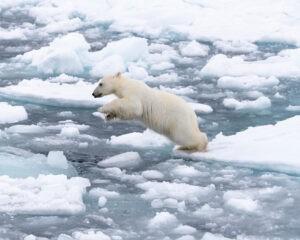 Un giovane orso polare salta sul ghiaccio che va dissolvendosi. Svalbard, Norvegia.